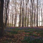 Wald der blauen Blumen